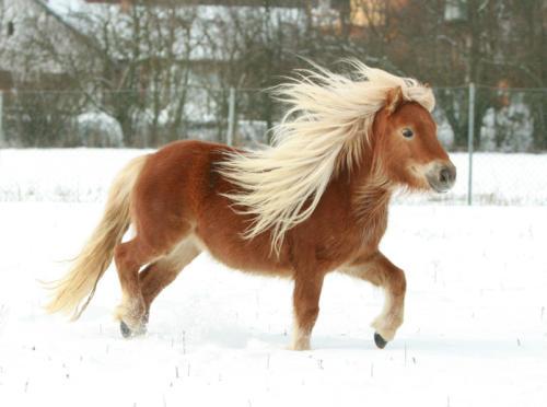 Shetland-Pony-Winter